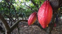 Waialua Estate Cacao