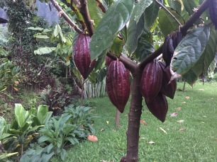 Cacao growing in Waimanalo at Manoa Chocolate homestead